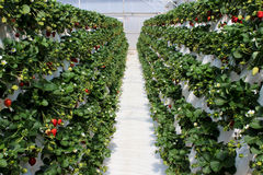 Strawberry farm plantation filled with fruit. A hydroponic strawberry farm with plants covered in ripening fruit Royalty Free Stock Photo