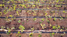 Strawberry Farm. Strawberry Plantation The natural way Without plastic. Strawberry Farm. Strawberry Plantation The natural way Without plastic stock photo