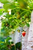 Strawberry farm royalty free stock photos