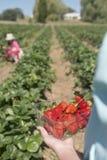 At the strawberry farm Stock Photos