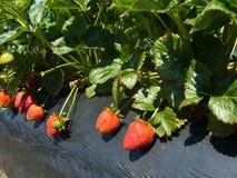 Strawberry Farm, South Australia Stock Images