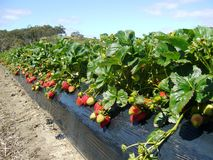 Strawberry Farm, South Australia Stock Photos