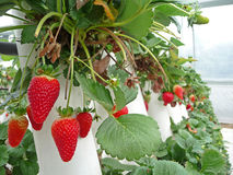 Strawberry 2. Strawberry farm with strawberries ripe for picking Stock Photos