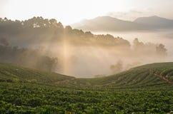 Strawberry farm when sunrise with fog Royalty Free Stock Photos