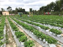 Strawberry farm `T.Udom` Suan Pheung, Ratchaburi shows strawberry trees in sacks in rows welcoming travelers. Royalty Free Stock Photo
