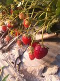 Strawberry Farm. In Thailand Stock Photography