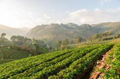 Strawberry farm in Thailand Stock Images