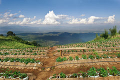 Strawberry farm at the top of Mon Jam mountain in Chiangmai, Tha Stock Photos