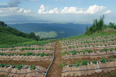 Strawberry farm at the top of Mon Jam mountain in Chiangmai, Tha Stock Images