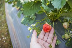 Strawberry in farm. Woman hold fresh strawberry in her hand at strawberry farm stock images
