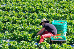 Strawberry farm. Wwoofer picking strawberries in a strawberry farm, Queensland Australia. WWOOF is a movement linking volunteers with farmers to promote cultural Royalty Free Stock Photo