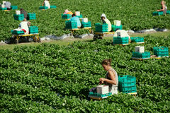 Strawberry farm. Wwoofers picking strawberries in a strawberry farm, Queensland Australia. WWOOF is a movement linking volunteers with farmers to promote Royalty Free Stock Photos