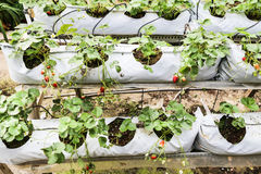 Strawberry farming in containers with canopy and water irrigation system Stock Image