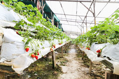 Strawberry farming in containers with canopy and water irrigation system Royalty Free Stock Photo