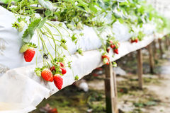 Strawberry farming in containers with canopy and water irrigation system Stock Photography