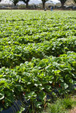 Strawberry farming Royalty Free Stock Photography