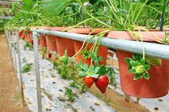 Strawberry farming - Series 3 Royalty Free Stock Image