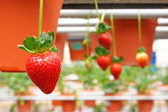 Strawberry farming - Series 2 Royalty Free Stock Image