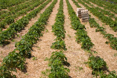 Strawberry field. With plants in rows and boxes royalty free stock images