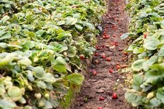 Strawberry field Royalty Free Stock Photo