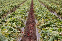 Strawberry field Stock Photos