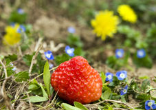 Strawberry in the field Stock Image