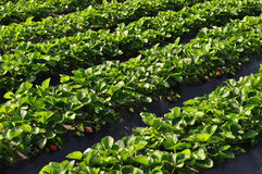 Strawberry field Stock Photography