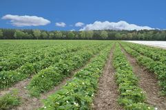 Strawberry field 2. Strawberry field short before harvest royalty free stock images