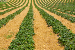 Strawberry Field. The rows of the berry beds alternately with Stock Image