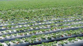 Strawberry field Royalty Free Stock Photo