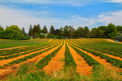 Strawberry field. The view of the green and yellow strawberry field with blue sky Royalty Free Stock Image