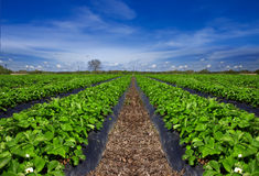 Strawberry field Royalty Free Stock Image