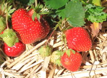 Strawberry in Field Stock Images