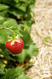 Strawberry on a Field Stock Photos