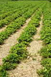 Strawberry field Stock Image