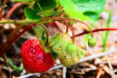 Strawberry in a field. Strawberries on a strawberry plant in a field Stock Photos