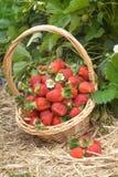 Strawberry field stock photos