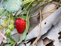 Strawberry in field Royalty Free Stock Photos