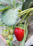 Strawberry in field Stock Photography