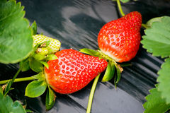 Strawberry in the field. Fresh strawberry in the field Royalty Free Stock Image