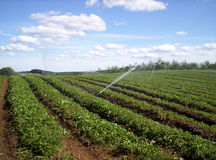 Strawberry field. Irrigating strawberry field Indian garden farm Bridgewater Lunenburg County Nova Scotia royalty free stock images