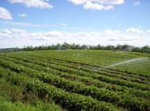 Strawberry field. Irrigating strawberry field Indian garden farm Bridgewater Lunenburg County Nova Scotia stock photo