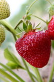 Strawberry on a field Royalty Free Stock Photo