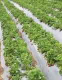 A strawberry field. Strawberry plants in straight rows on grey plastic to protect the plants Royalty Free Stock Images