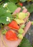 Strawberry in the field Royalty Free Stock Images
