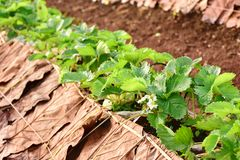 Strawberry field. Agriculture farm of strawberry field royalty free stock image