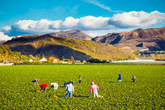 Strawberry Field Agriculture Workers Royalty Free Stock Photo