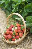 Strawberry field basket stock image