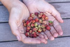 Strawberry field berries holding girl. Selective focus stock photo