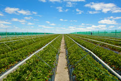 Strawberry field with blue cloudy sky Royalty Free Stock Image